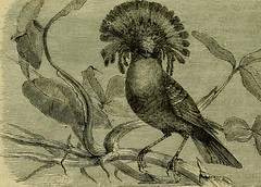 """Image from page 555 of """"Reptiles and birds : a popular account of their various orders, with a description of the habits and economy of the most interesting"""" (1883)"""
