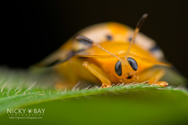 Tortoise Beetle (Cassidinae) - DSC_1890