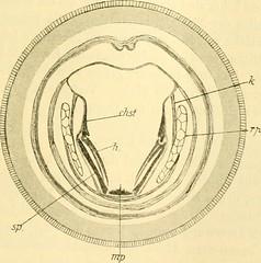 """Image from page 308 of """"Zeitschrift für wissenschaftliche Zoologie"""" (1912)"""