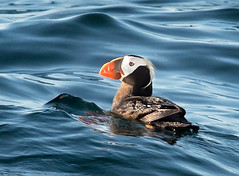 duck(0.0), waterfowl(0.0), mergus(0.0), animal(1.0), water bird(1.0), puffin(1.0), seaduck(1.0), ducks, geese and swans(1.0), beak(1.0), bird(1.0), seabird(1.0),