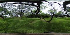Keawe Trees at Kapiolani Park in Waikiki - a 360 degree Equirectangular VR