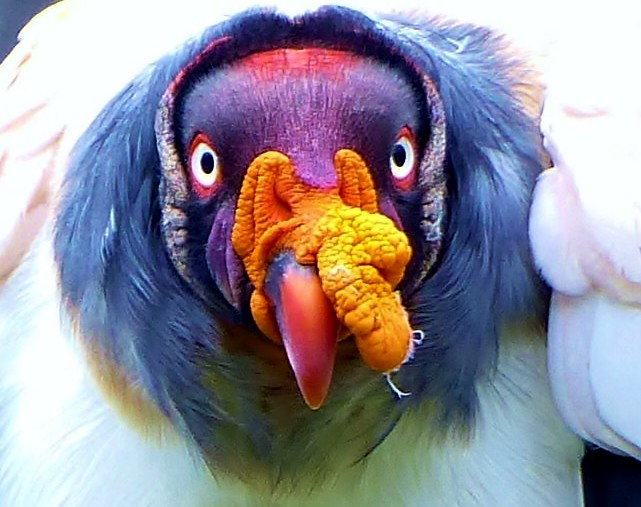 MacroMondays*OrangeandBlue*King Vulture
