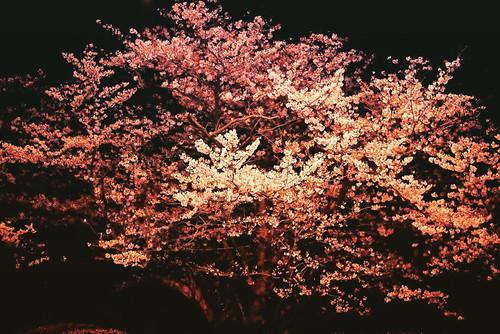 神戸製鋼所 並木桜 〜 via IG