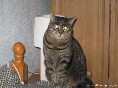 lostcatfourmilehouseroscommon lost cat fourmile house roscommon april 2017