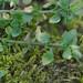 Lesser Chickweed - Stellaria pallida