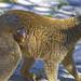 Cría de lémur frentirrojo recién nacida en BIOPARC