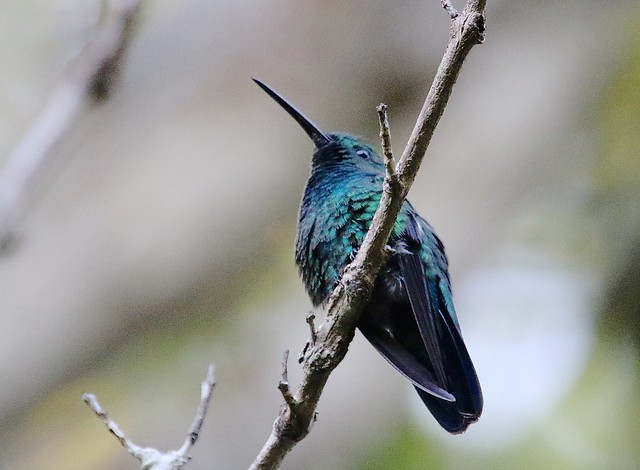 Green Mango (Anthracothorax viridis), Bosque Estatal de Maricao, Puerto Rico  3/4/17