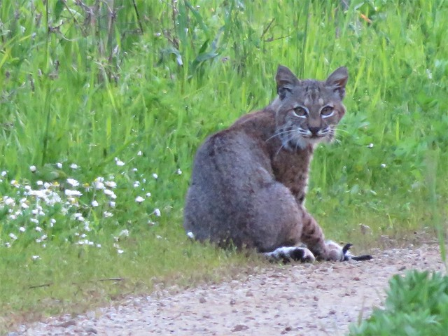 Wildflowers and a Bobcat!, Canon POWERSHOT SX700 HS