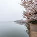 Cherry Blossom Fog