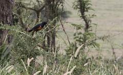 IMG_5084a Hildebrandt's Starling - Knobby Hill Gate, Serengeti, Tanania - GPS #392
