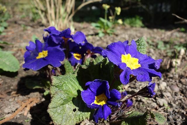 Blume (lila)