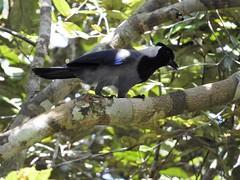 Violaceous Jay (Cyanocorax violaceus)