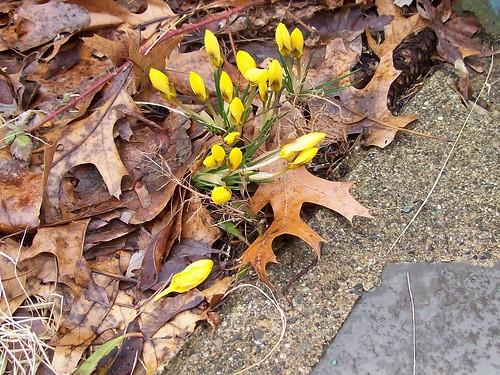 yellow crocus buds