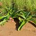 Small photo of Amaryllidaceae (Crinum sp.)