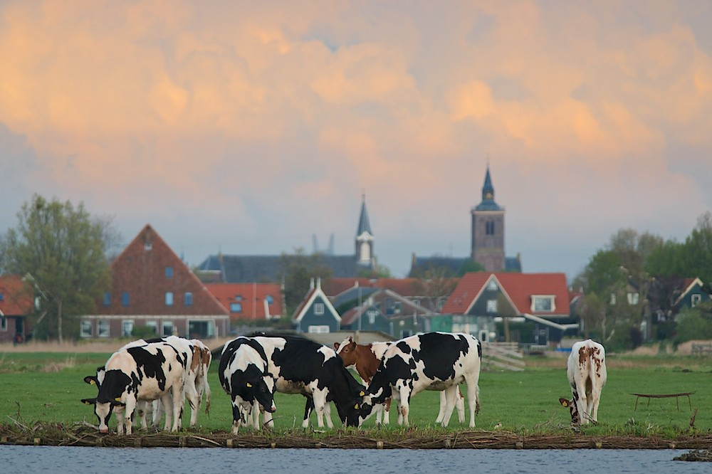 Cows (Bos primigenius)