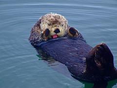 animal, marine mammal, mustelidae, fauna, sea otter, wildlife,