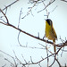 Common Yellow-throat_FOY