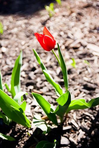 11.tulip.jpg