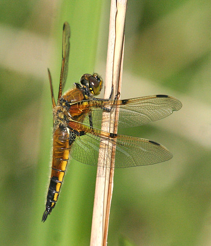 Four-spotted Chaser Libellula quadrimaculata Leven Canal, East Yorkshire May 2014