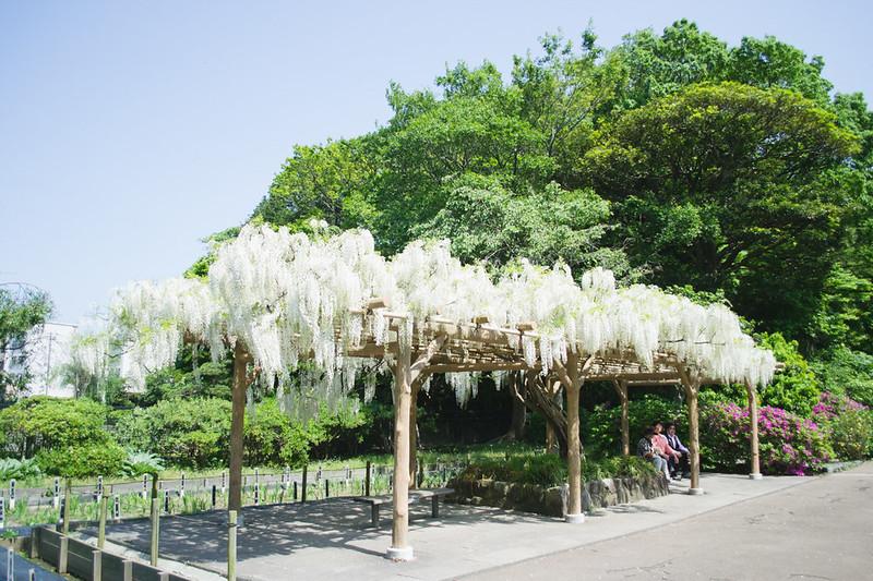 Wisteria at Shobuen Iris Garden, Yokosuka