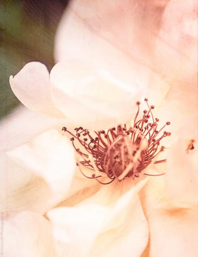Rose // 21 05 14