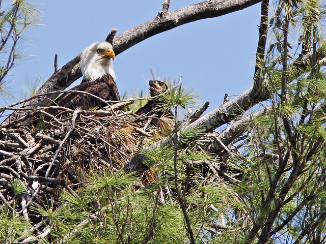 Bald Eagle and eaglet Mooseheart 20140521