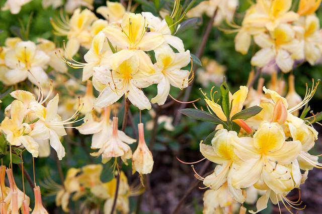 yellow rhododendron. Botanic garden. Lviv, Ukraine
