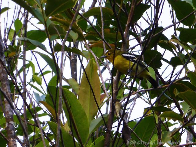 Santubong 01 Common Iora (Aegithina tiphia)