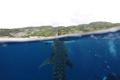 2012.05-菲律賓-宿霧島-歐索羅-鯨鯊與餵食人員。柯金源攝。