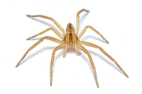 Slender Crab Spider - ♀