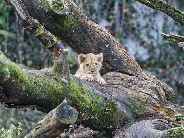 Cub posing on the big tree!