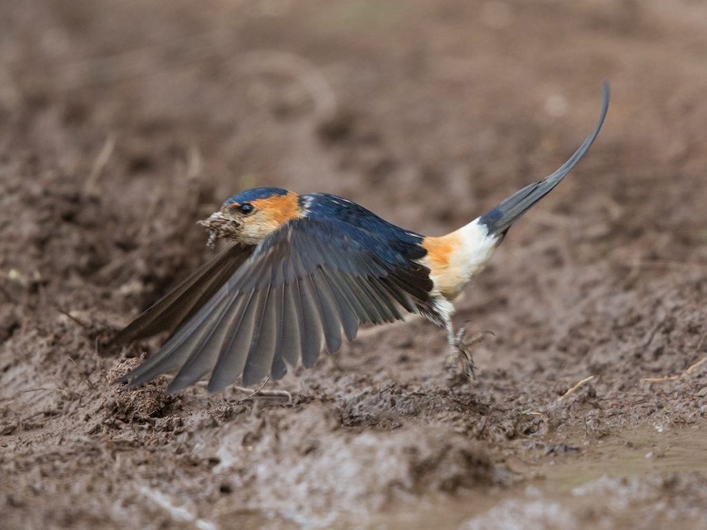 Red Rumped Swallow 2014-05-03