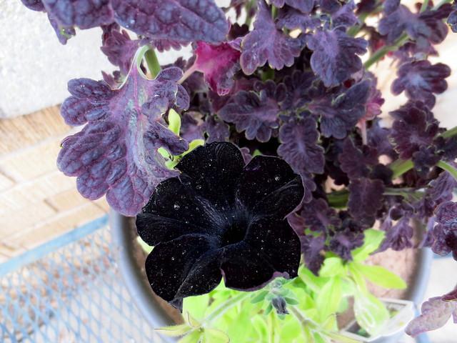 black magic petunias