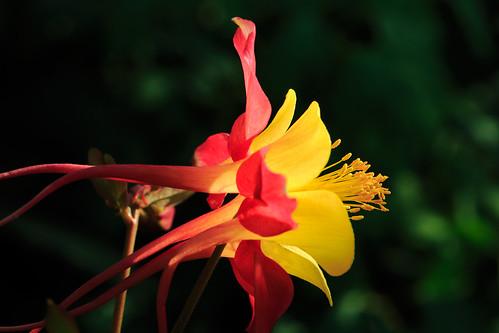flower macro morninglight unitedstates manhattan ks ksu kansas kansasstateuniversity kstate columbineflower ksugardens canonef100mmf28macro 5dm3 canonef100mmf28lmacroisusm kstategardens