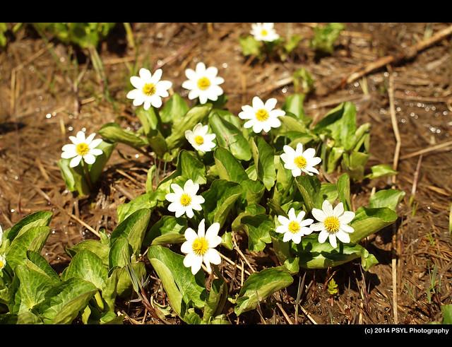 Marsh Marigold (Caltha leptosepala)