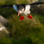 Puffin on Runde Island, Norway