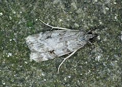 63.062 Large Grey - Scoparia subfusca
