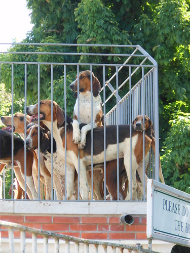 The famed hounds of Cheverny
