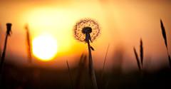 flower, backlighting, yellow, sunlight, sun, evening, light, macro photography, morning, darkness, sunset,