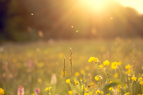 sunset lakes meadow fields wildflowers buttercups cosmeston