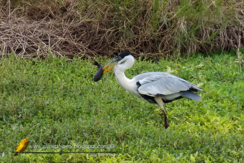 Garza mora (White-necked Heron) Ardea cocoiGarza mora (White-necked Heron) Ardea cocoi