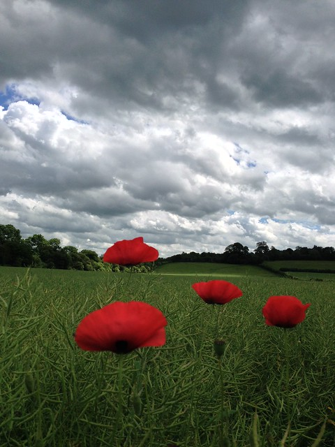 Poppies in Hanborough