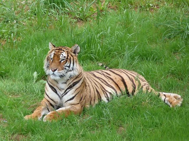 Tigre de Bengala en Cabárceno (Cantabria)