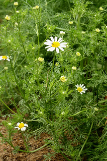 2014-7-11 Scentless Chamomile