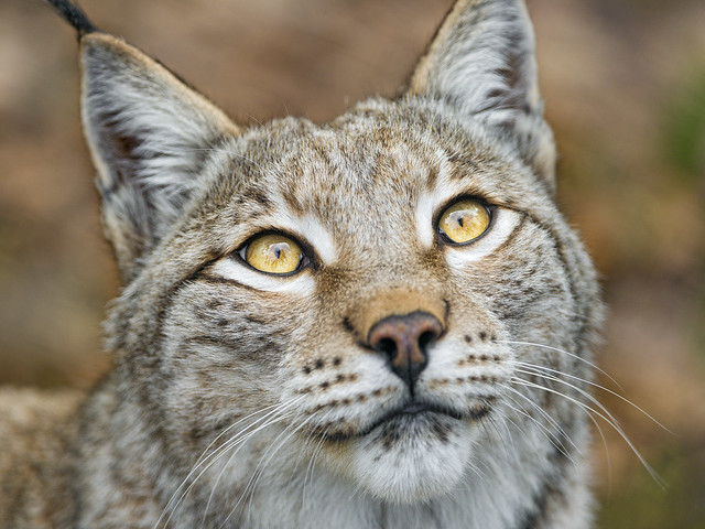 Beautiful lynx with pretty eyes