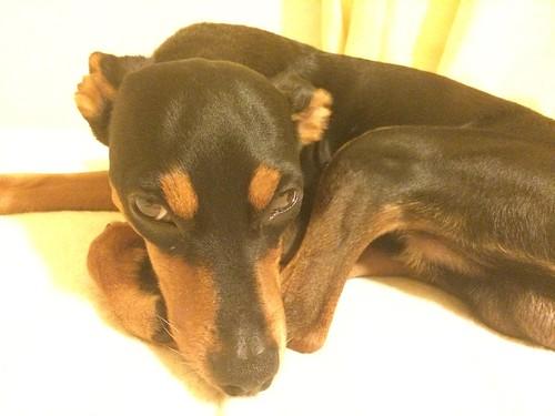 目つき悪い黒犬。