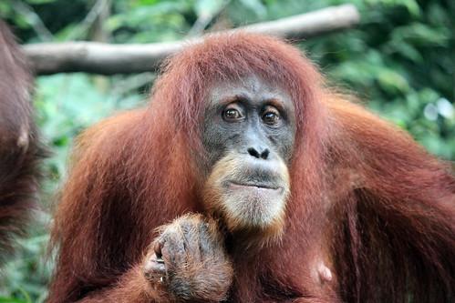 Bornean Orangutan portrait