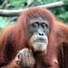Bornean Orangutan portrait by Jo@net