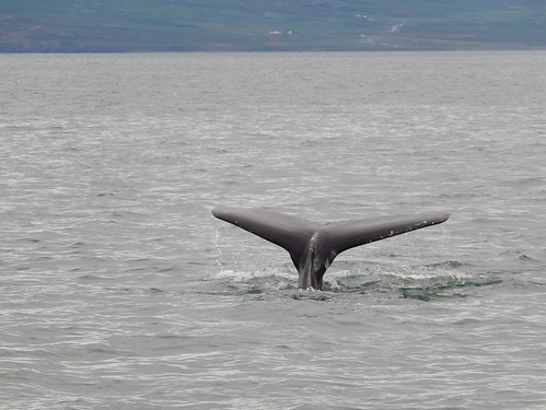 IJsland - Dalvik - whale watching - tail - 1