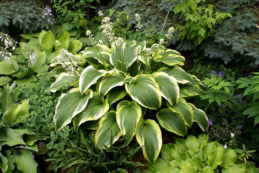 Hosta 'montana Aureomarginata' (2)(06&11)-001